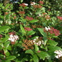 Viburnum Tinus flowering its very pretty this year after its severe pruning last year (Viburnum tinus (Laurustinus))