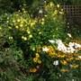 pretty autumn corner (Helianthus multiflorus)