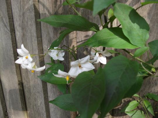 Solanum Laxum 'Album (white) Potato vine (Solanum laxum 'Album')
