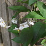 Solanum Laxum &#x27;Album (white) Potato vine (Solanum laxum &#x27;Album&#x27;)