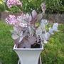 Kalanchoe in white pot