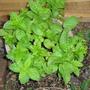 Mint_may_2008 (Mentha longifolia)