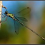 Dragon-fly... Libellule