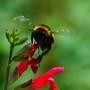 Un bourdon en vol - Humble-bee on flying