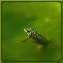 A small green frog