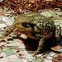 Bufo-bufo ( Commun toad ) - Crapaud commun