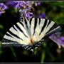 Papillons_2