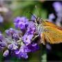 Papillons_3