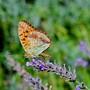 Papillons_4
