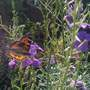 Butterfly and Wallflowers.