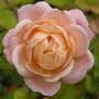 Dwarf Rose - Pink Picote