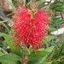 CALLISTOMON ~ 'BOTTLE-BRUSH'