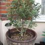 Olive tree_may_2008