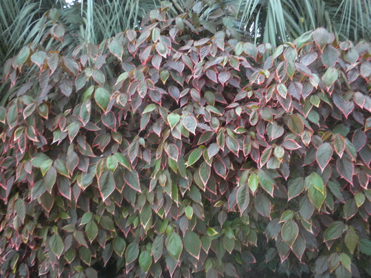 Acalypha 'Marginata'  (Acalypha 'Marginata')