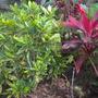 Front Yard: Codiaeum variegatum 'Gold Dust' (Codiaeum aucubaefolia) and Cordyline fruiticosa - Ti Leaf Plant (Codiaeum variegatum 'Gold Dust' (Codiaeum aucubaefolia) - Croton)