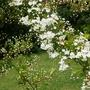 A garden flower photo (Pyracantha)