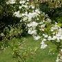 A garden flower photo (Pyracantha)