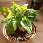 Coffee_plant_001