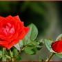 Fond d'écran with red roses -Fond d'écran aux roses rouges