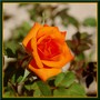 Orange rose - Rose orange