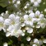 Close-up of previous shrub (Pyracantha.)