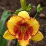 Hemerocallis - 'Merry Moppet' (Hemerocallis)