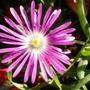 Delosperma Floribunda 'stardust'