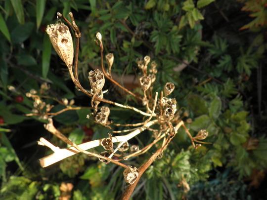 Campanula seed heads