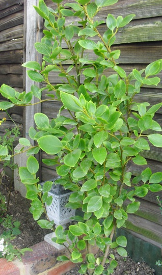 Griselina Littoratis   ...   Evergreen shrub