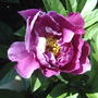 First peony this year
