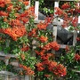 Pyracantha  ...  thorny evergreen (Pyracantha angustifolia (Fire Thorn))