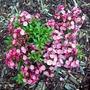 Tinkerbelle Mountain Laurel (Kalmia latifolia (Calico bush))