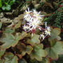 Saxifrage Fortunei 'Buckland'