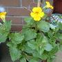 Ruellia makoyana (Monkey Plant)
