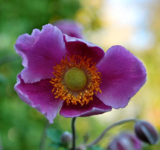 Anemone hup Hadspen Abundance... (Anemone hupehensis (Japanese anemone) Hadspen Abundance)