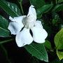 Gardeniapa010218