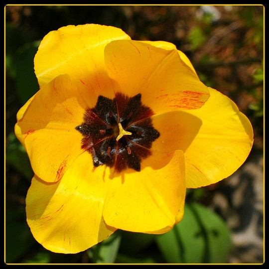 Tulip black and yellow - Tulipe noire et jaune