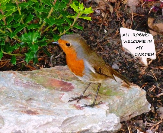 Robin visitor  :o)))