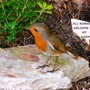 P1020054_robin_on_rock_label_edit.