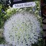 Allium....'Mont Blanc'
