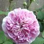 Scented pink roses, 'Fantin - Latour' (Rosa centifolia 'Fantin-LaTour')