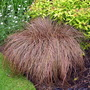 A garden flower photo (Carex comans bronze)