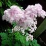 A garden flower photo (Thalictrum aquilegiifolium)