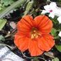 2008_06_12_010_nasturtium_orange