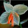 Fleur de leucotriche flower