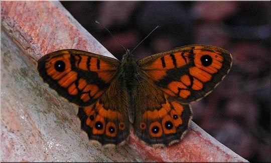 Butterfly in the garden 2