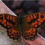 Papillon_24_la_m_g_re_