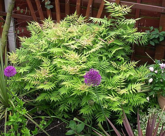 A garden flower photo (Sorbaria sorbifolia)