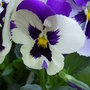 Purple &amp; White Pansy