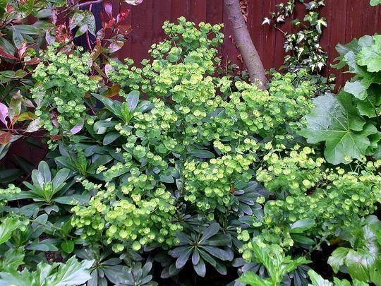 A garden flower photo (Euphorbia amygdaloides (Wood spurge))